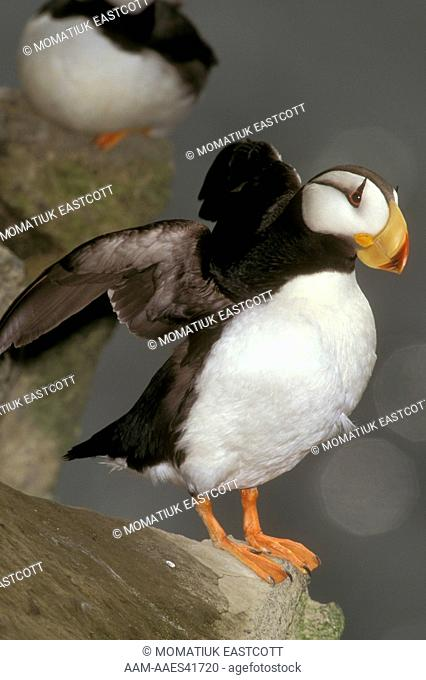 Horned Puffin on Cliff Ledge, St. Paul Island, AK