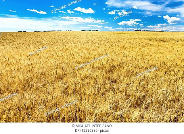 Golden ripe wheat field with blue sky and clouds; Alberta, Canada