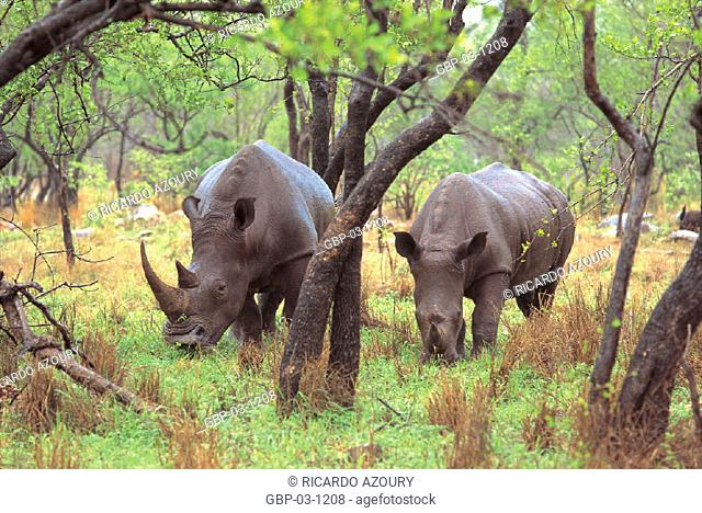 Photo illustrated an animal, forest, mammal, herbivore, grazing, animal, rhinoceros