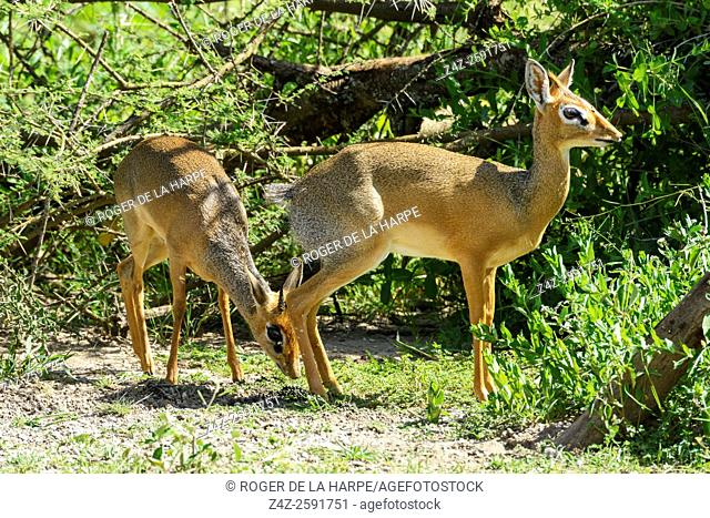 Kirk's dik-dik (Madoqua kirkii) Female defecating while male tests for reproductive capability. Territories are marked with dung and urine that are deposited in...