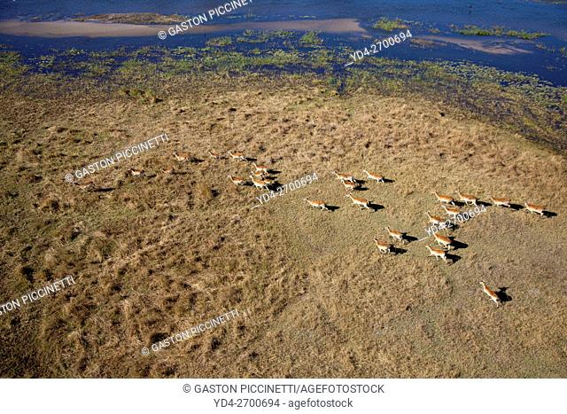 Aerial view of Red Lechwes (Kobus leche). Okavango Delta, Botswana. The Okavango Delta is home to a rich array of wildlife