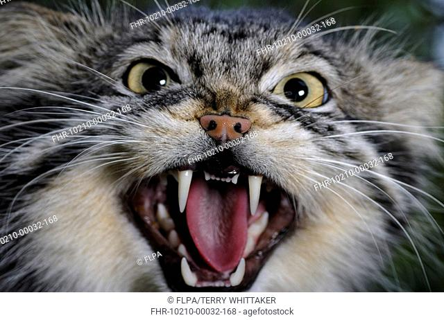 Pallas's Cat Felis manul adult snarling, close-up of head