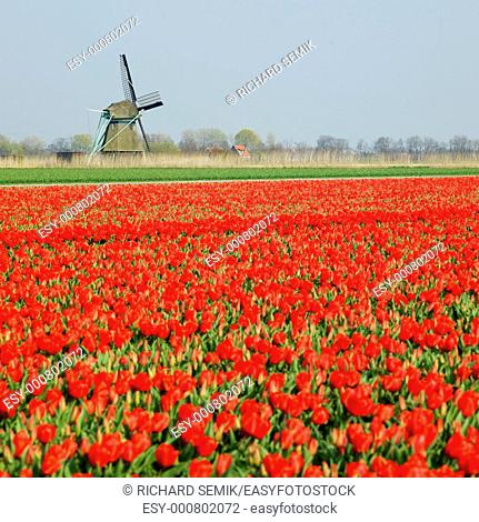 windmill with tulip field near Ooster Egalementsloot canal, Netherlands