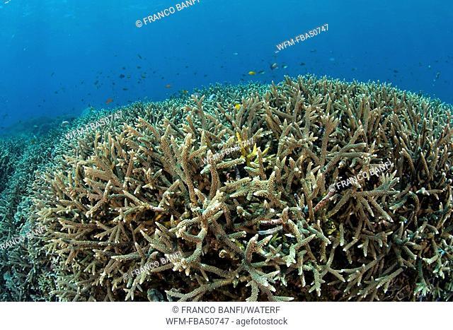 colonies of hard coral, Acropora robusta, Bali Island, Indonesia