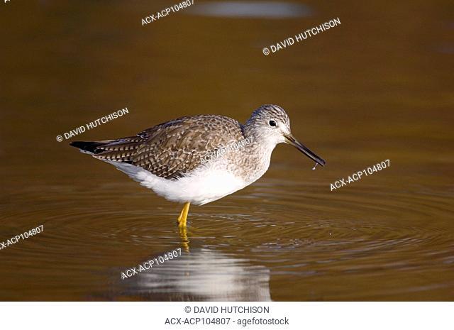 Sanpiper (Scolopacidae) at Shoal Harbour Bird Sanctuary, SIdney, BC Canada