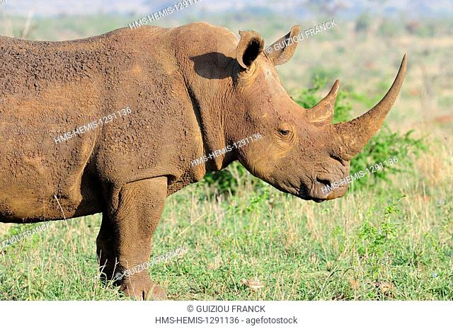 South Africa, Mpumalanga region, the South Kruger National Park, white rhinoceros or square-lipped rhinoceros (Ceratotherium simum)