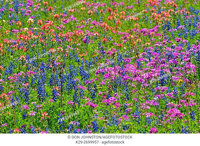 Roadside wildflowers featuring paintbrush and bluebonnets, Hwy 97 near Stockdale, Texas, USA