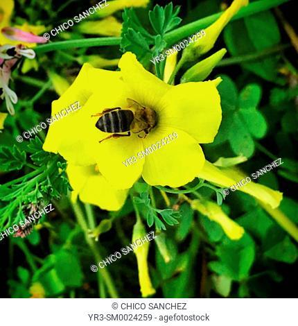 A bee licks a yellow flower in Prado del Rey, Sierra de Cadiz, Andalusia, Spain