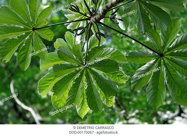South America, Brazil, Parana, Foz do Iguacu, green foliage