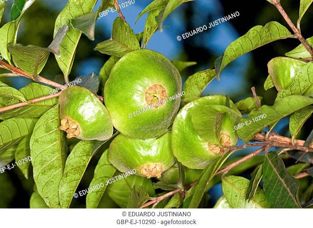 Cambuci (Campomanesia phaea), Brazil