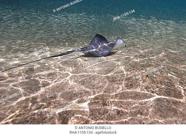 Stingray Dasyatis thetidis fishing, Cozumel, Mexico, Caribbean, North America