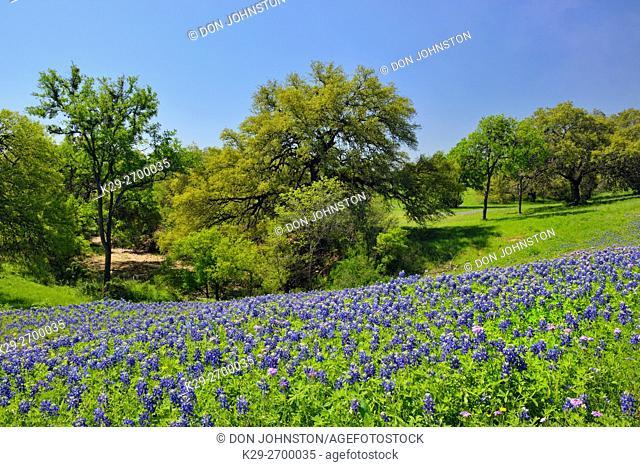 Roadside Texas Bluebonnets, New Braunfels, Texas, USA