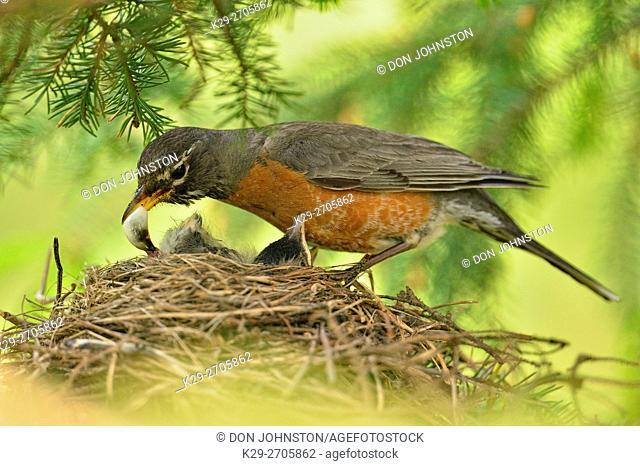 American robin (Turdus migratorius) Adult removing fecal sac, Greater Sudbury, Ontario, Canada