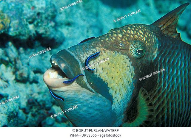 Juvenile Cleaner Wrasse cleaning Titan Triggerfish, Labroides dimidiatus, Balistoides viridescens, Tubbataha Reef, North Atoll, Sulu Sea, Philippines