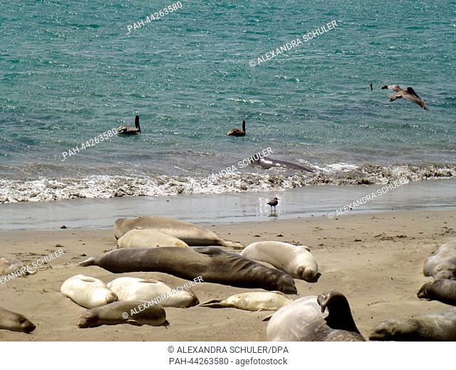 A colony of sea elephants lies at the beach of Piedras Blancas at the Big Sur, Highway 1 near by San Simeon in California, United States of America