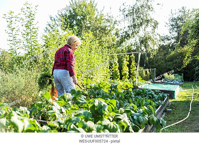 Senior woman gardening in vegetable patch