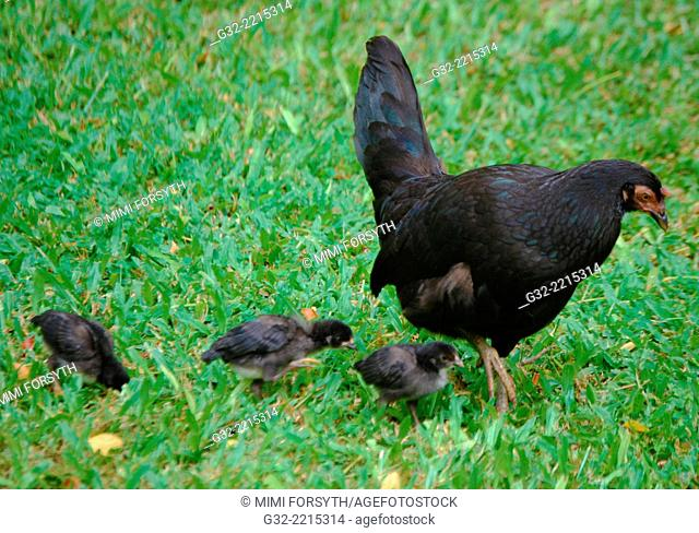 feral hen and 3 chicks, Hawai'i