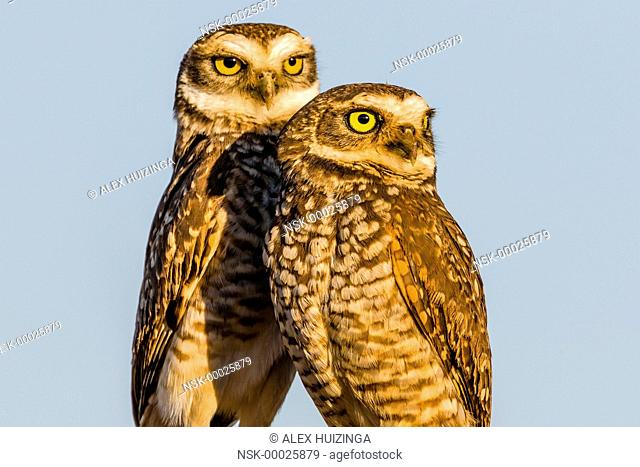 Pair of Burrowing Owl (Athene cunicularia) standing next to eachother, Brazil, Mato Grosso, Chapada dos Guimaraes National Park