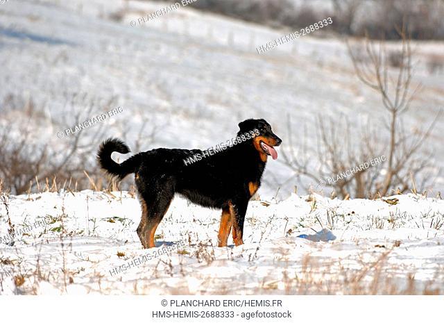 Beauceron (Canis lupus familiaris)