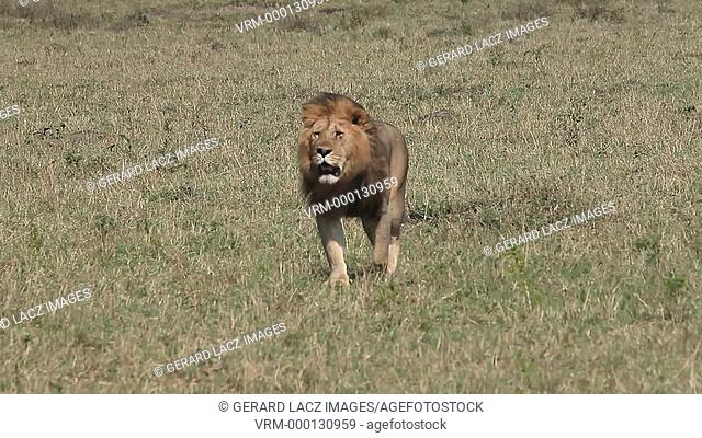 African Lion, panthera leo, Male walking through Savanna, Masai Mara Park in Kenya, Real Time
