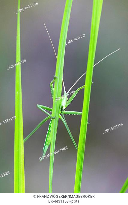 Saga pedo bush cricket (Sago pedo), female on grass blade, Pleven Province, Bulgaria