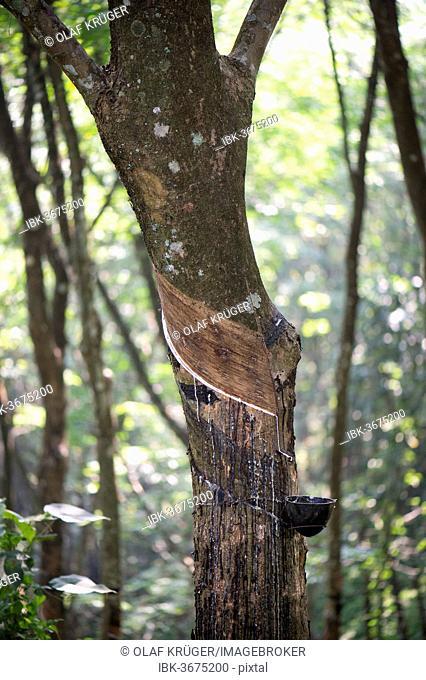 Rubber Tree (Hevea brasiliensis), natural rubber production on a plantation, Peermade, Kerala, India