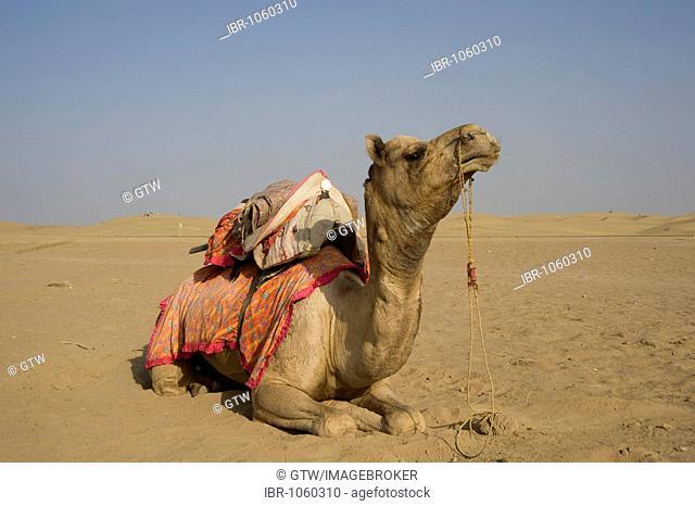 Camel, Jaisalmer, Thar Desert, Rajasthan, India, South Asia
