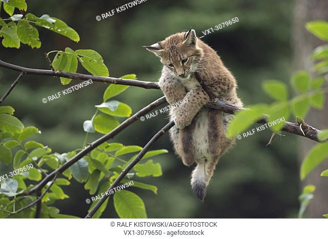 Cute young Eurasian Lynx ( Lynx Lynx ) is in distress / plays high up in bushes, Europe