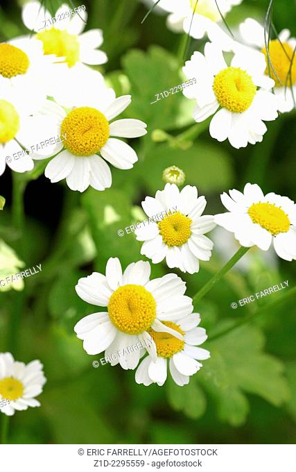 summer daisies in a field