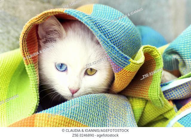 Beautiful white odd eyed kitten hiding under blanket