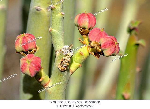 Fructification of Euphorbia dregeana, Dikboudmelkbos, Richtersveld Transfrontier National Park, South Africa
