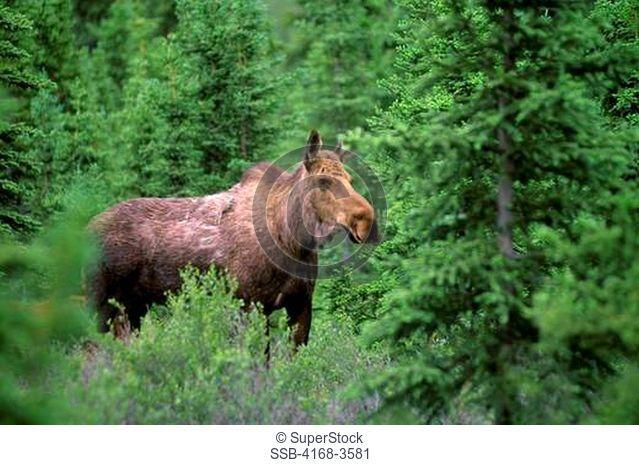 Usa, Alaska, Denali National Park, Near Teklanika River, Moose