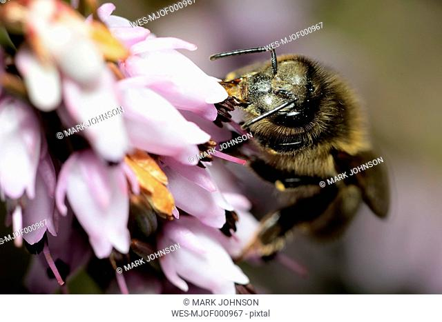 Honey bee, Apis, on a blossom