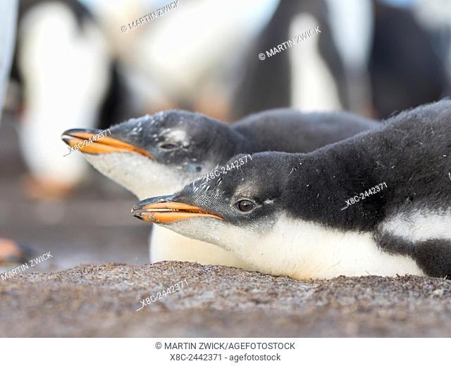 Gentoo Penguin (Pygoscelis papua) on the Falkland Islands, half grown chicks, siblings of a clutch. South America, Falkland Islands, January