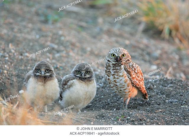 Two Burrowing owl chicks at a nest hole with their mother standing guard beside them, Saskatchewan, Canada