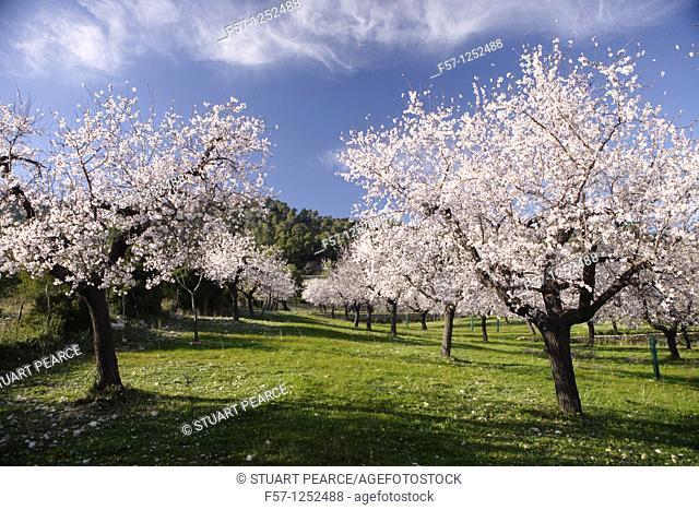 Almond Blossom in Mallorca