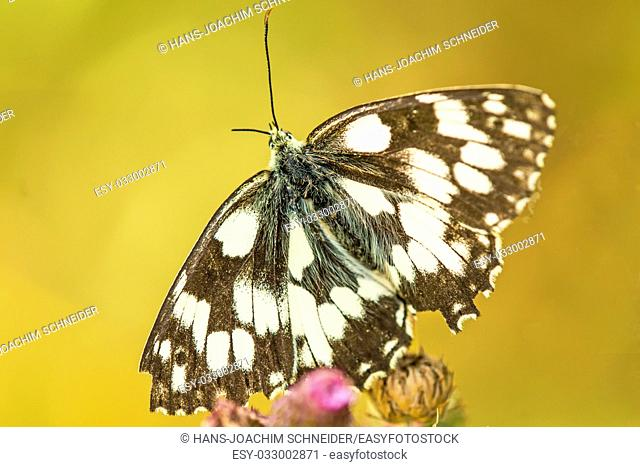 marbled white butterfly in Germany