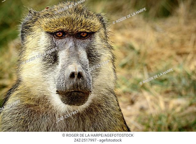 Olive baboon or Anubis baboon (Papio anubis). Amboseli National Park. Kenya