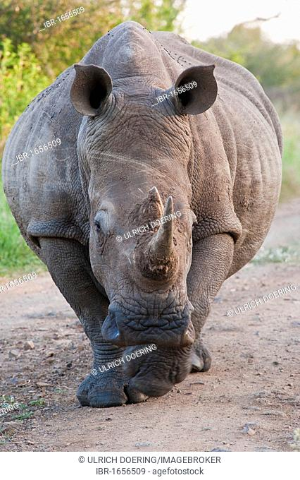 White Rhinoceros or Square-lipped rhinoceros (Ceratotherium simum), adult, Hlane Royal National Park, Swaziland, Africa