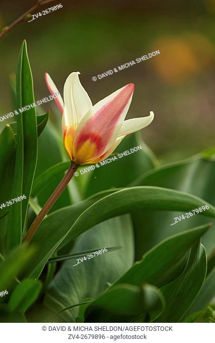 Close-up of a Turkestan tulip (Tulipa turkestanica) blossom in a garden in spring