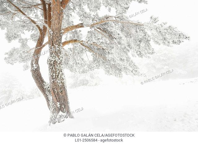Spain, Castile and Leon, Segovia, Sierra de Guadarrama, Winter in pine forest