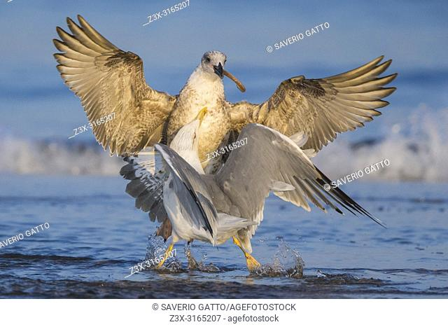 Yellow-legged Gull (Larus michahellis), fighting for food
