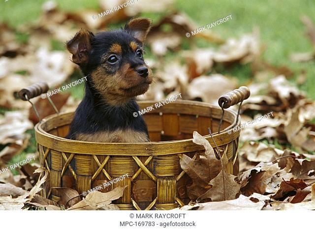 Australian Terrier Canis familiaris, puppy in a basket