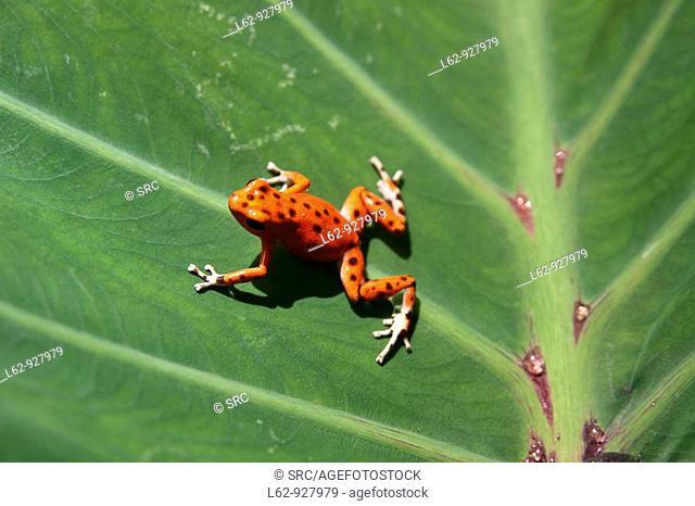 Red frog, Isla Bastimentos National Park, Bocas del Toro, Caribbean, Panama