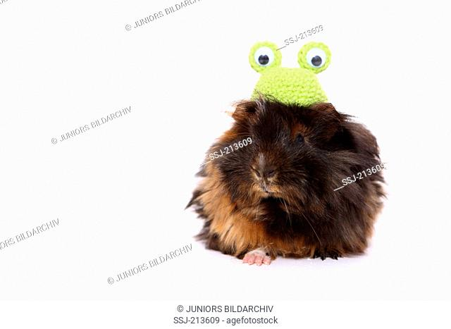 Long-haired Guinea Pig wearing a crocheted frog hat, seen head-on. Studio picture against a white background. Germany , Meerschweinchen / guinea pig