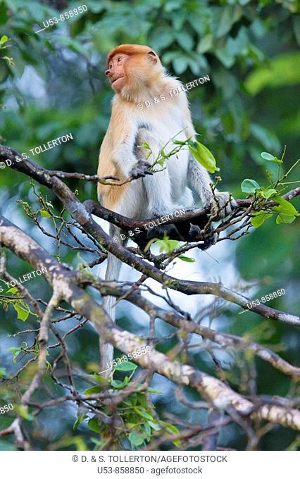 Proboscis Monkey, Nasalis larvatus, Sukau, Sabah, Borneo, Malaysia