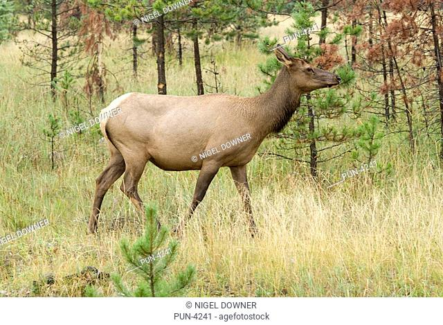 Elk Cervus elaphus Female walking through trees