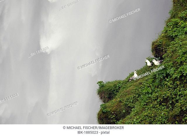 Fulmars (Fulmarus glacialis) at Skogafoss waterfall, Skogar, Iceland, Europe