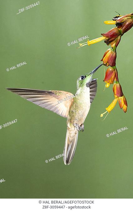 Fawn-Breasted Brilliant Hummingbird feeding on flower (Heliodoxa rubinoides). Ecuador