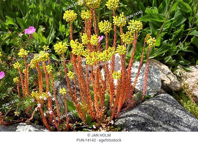 Stonecrop houseleek Sedum reflexum, Aberdeenshire, Scotland